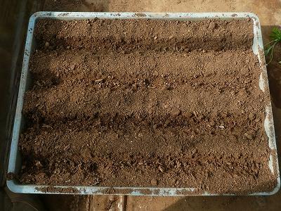 スティックセニョールとサボイキャベツの種を蒔いて