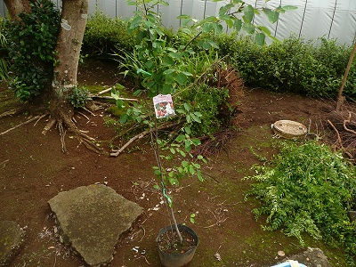 もらった果樹の苗木