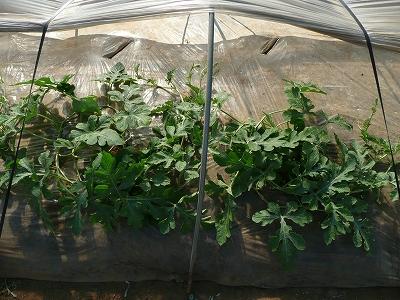 種蒔き35日後のポット蒔き苗
