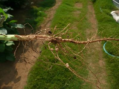 小糸在来の根っこと根粒菌