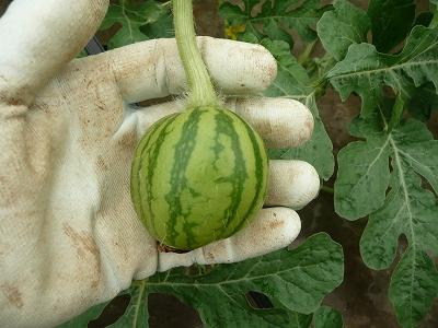 交配6日後の西瓜を摘果