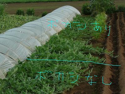 抑制西瓜のつる先・ボカシ肥料有り無しの境目