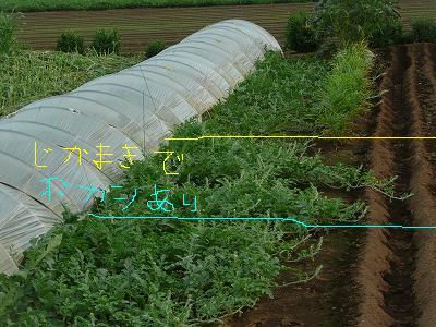 抑制西瓜のつる先・直播きかつボカシ肥料有りのエリア