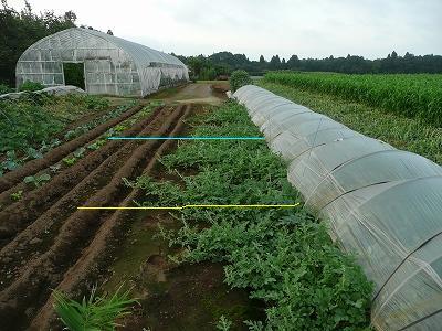 抑制西瓜のつる先・直播きかつボカシ肥料有りのエリア(反対から見ました)