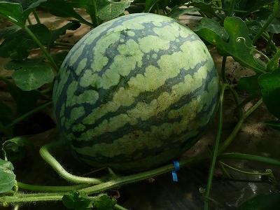 抑制西瓜を玉返し