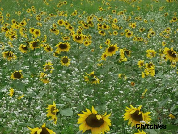 満開のひまわり畑