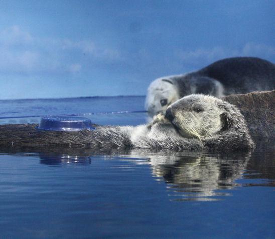 '11.8.8 sea otter 138