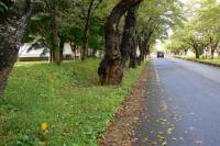 091011 国際教養大学の桜並木
