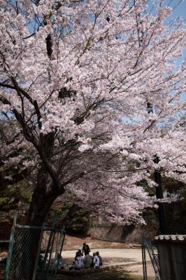 20110410_Miyajima_5Dm20021.jpg