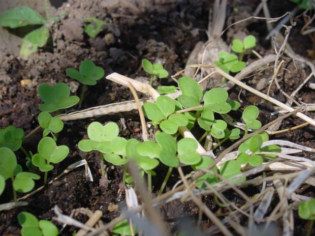 菜花の発芽
