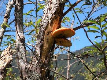 木の上からきのこが。
