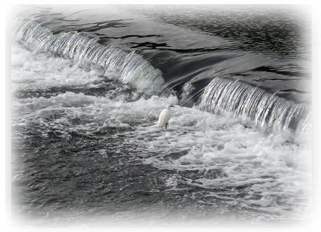 嵐山 川 サギ
