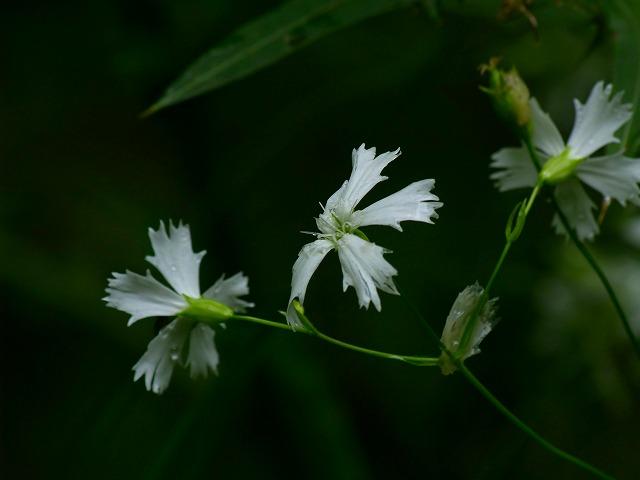 s-iypp白花がんぴ
