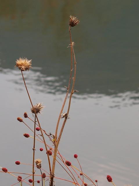 s-iyppPA176149枯れ花