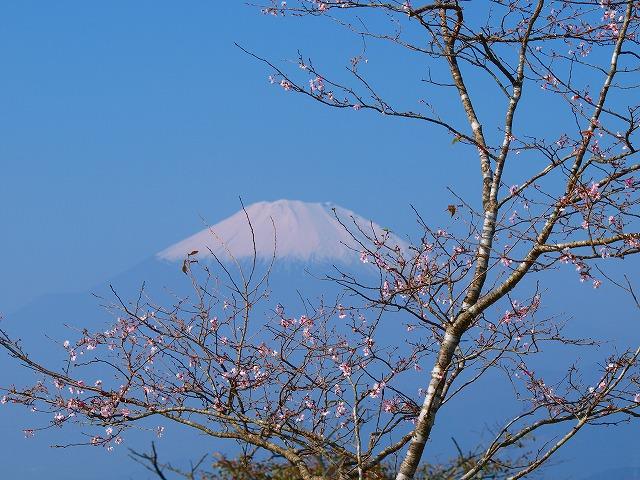 s-iyppPA316633山頂の桜