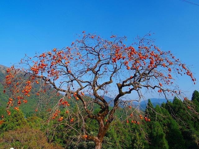 s-iyppPA316835柿の木