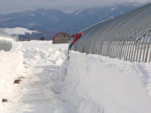 20120306_2番ハウス除雪中