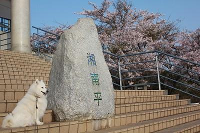 桜満開の日です。