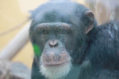 ガラス越しにチンパン君