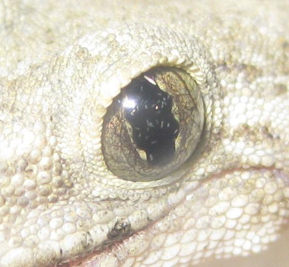 ヤモリの目