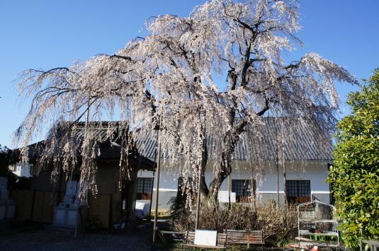 桜 福寿院 外観