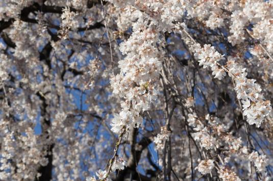 桜 福寿院 アップ