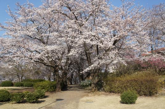 桜 八代 桜並木