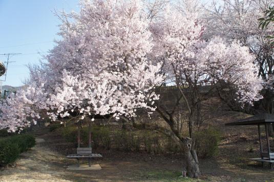 桜 八代 さくら