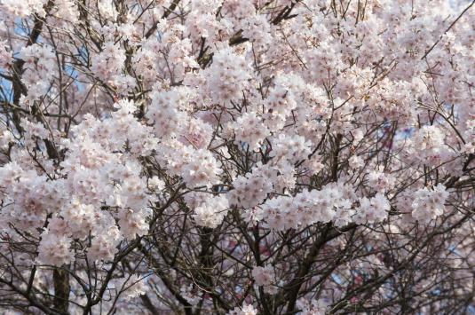 桜 八代 アップ