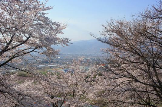 桜 八代 たくさん