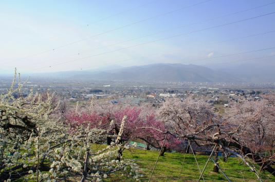桜 八代 花の共演