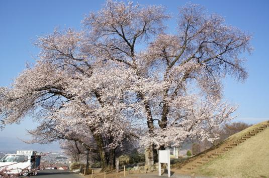 桜 八代 こうしゅうこかげざくら