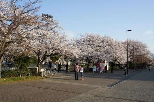 桜 小瀬 さくら
