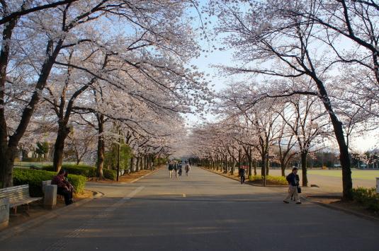 桜 小瀬 並木道