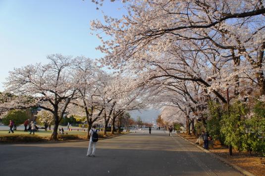 桜 小瀬 帰り道