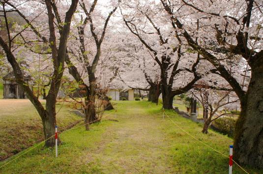桜 配水場 桜の通路