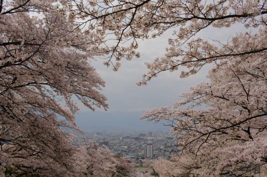 桜 配水場 桜フレーム