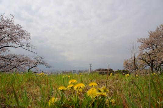 桜 配水場 タンポポ