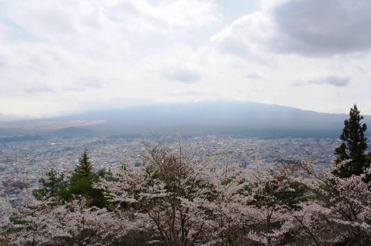 桜 新倉山 上