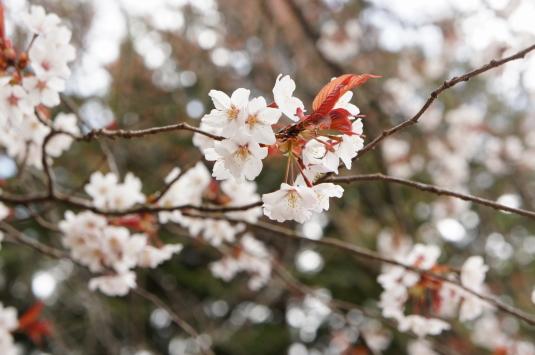 桜 新倉山 アップ