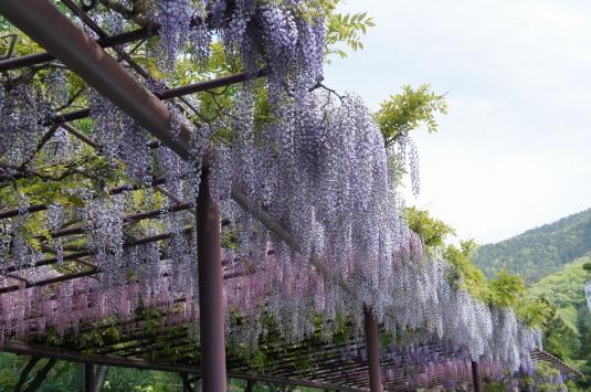 藤切り祭り ふじ