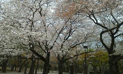 sakura4_20120414054611.jpg