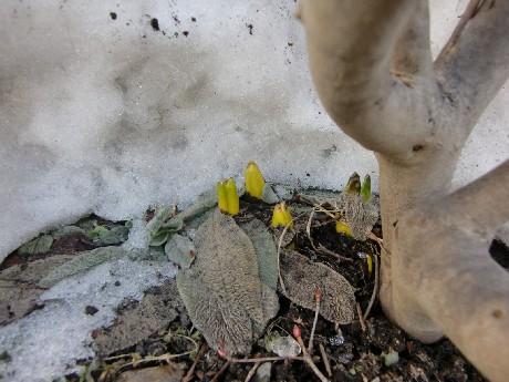 ヒヤシンスの芽