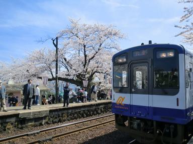 のと鉄と桜2