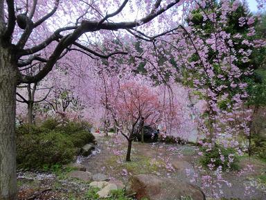 枝垂桜その後1