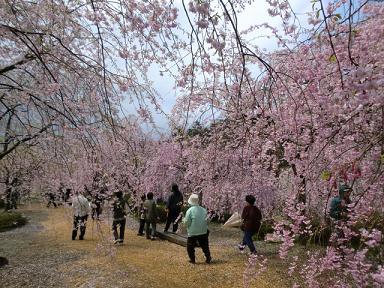 枝垂桜その後2