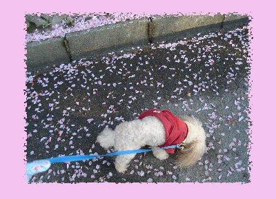 桜の花道1