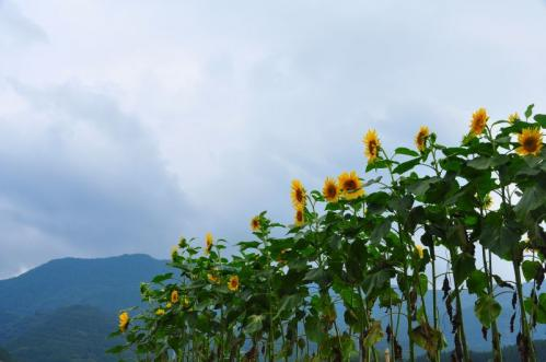 8皿ヶ嶺と向日葵11.07.03