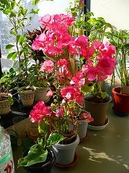写真キャプション=暖かい室内で狂い咲きする「ブーゲンビリア」
