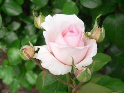写真キャプション=いまから開こうとする花弁に清純さとこの上ない色気を感じる